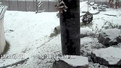 O panda que gosta da neve