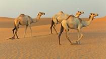 Leite de camelo, o novo superalimento?
