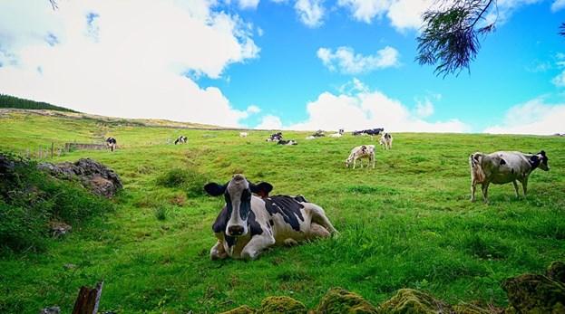 Vacas dos Açores ligadas à Internet