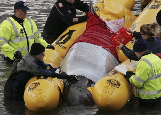 Pescador morre atingido por baleia que tinha acabado de salvar