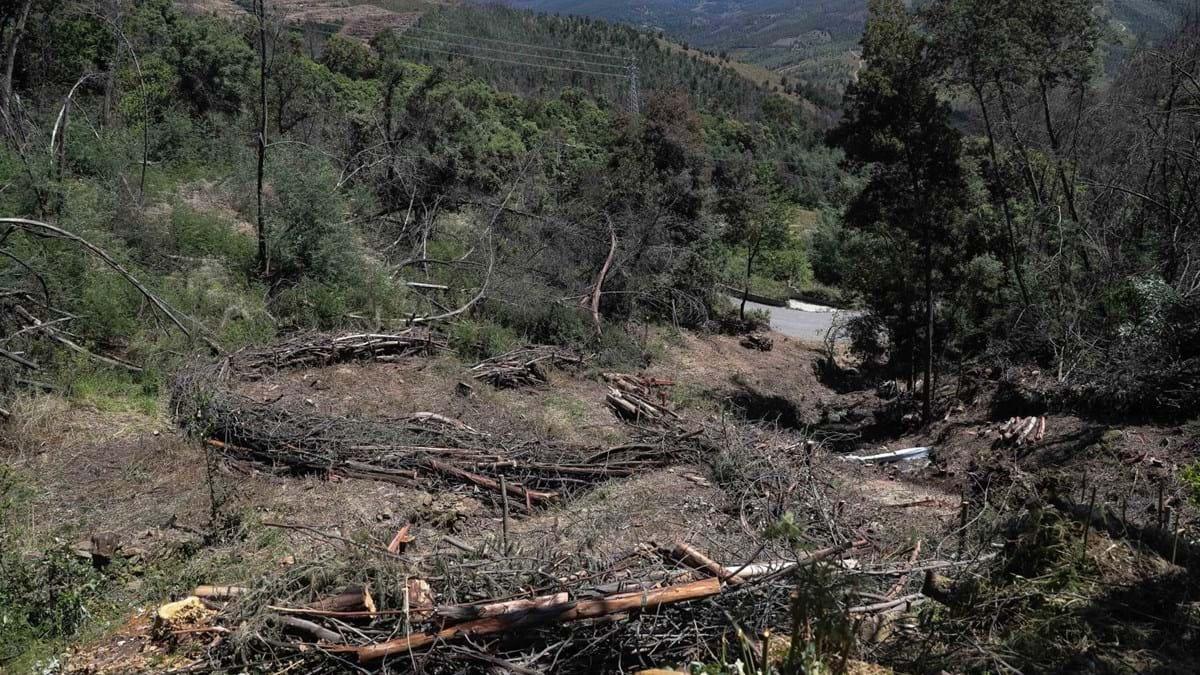 Resultado de imagem para Três municípios candidataram-se este ano ao financiamento para limpeza da floresta