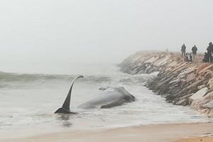 Autoridades estudam como remover baleia morta encalhada em praia no Algarve